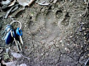 black bear track found in cannon county